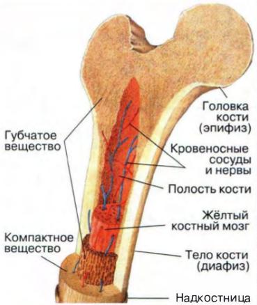 Какой тканью образованы кости скелета человека