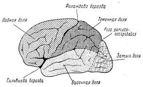Строение коры больших полушарий головного мозга