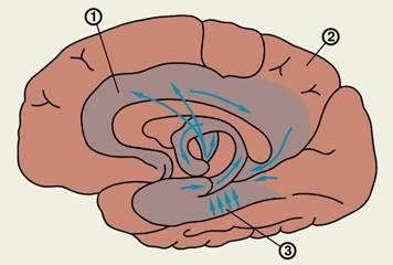 Лимбическая система мозга ее структура функции